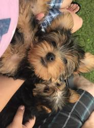 Very Sweet Loving Yorkie Puppies Who Loves To Be A Lap Dog Austin