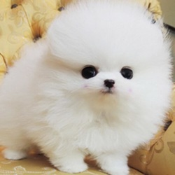 Lovely Ice White Bear Face Teacup Pomeranian Puppies Scottsdale