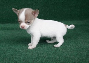 Quality Pedigree Chihuahua Puppies For Sale Detroit Mi Free