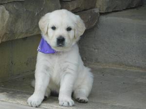 Golden Retriever Puppy 12 Weeks Ready To Go A Home Now Atlanta