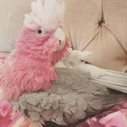 Beautiful cockatoo parrots - O Fallon, MO - free classifieds