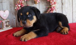 Chunky Rottweiler Puppies For Sale South Plymouth Ny Free