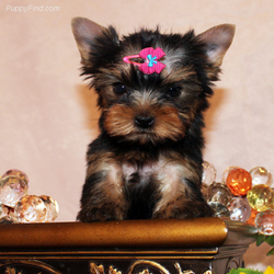 AKC Yorkie puppies for sale  Come with full akc registration