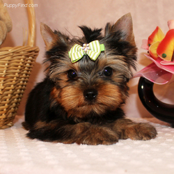 Fdg Top Quality Yorkie Puppies Online Males And Females Roswell