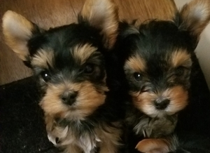 Adorable Tiny Yorkie Puppies For Sale Mahwah Nj Free
