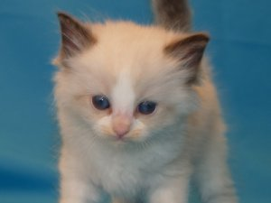 incredible, sweet, and loving Ragdoll kittens - Fresno, CA