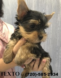 Teacup Yorkie Puppies 12 Weeks Old Wichita Ks Free