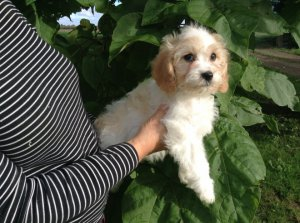 Cavachon 6 Month Old Girl For Sale - Flower Mound, TX - free