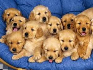 Beautiful Boys And A Girls Baby Puppies Golden Retriever For Sale
