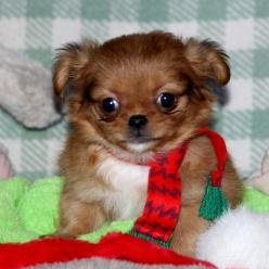 Ginger Chihuahua Mix Puppy For Sale Pine Bluff Ar Free