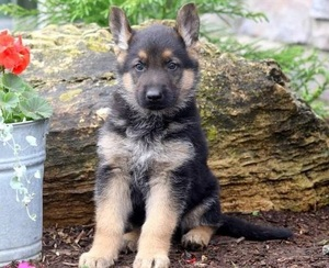 Purebred German Shepherd Puppies Available Eaton Rapids Mi Free