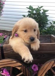 Onest 10 Week Old Puppies Golden Retriever Atlanta Ga Free