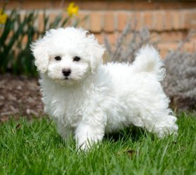 purebred Bichon Frise Puppies for fast adoption - Campbell