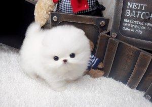 Gorgeous White teacup Pomeranian puppies for adoption  - Boise, ID