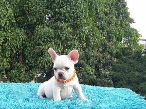 Great French Bulldog Puppies ready for sale - Wichita, KS