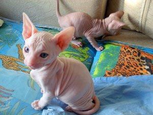 Beautiful Sphynx kittens - Richmond, VA - free classifieds