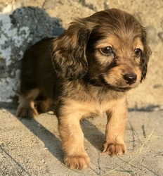 Akc Miniature Dachshund Puppies Ready Baltimore Md Free