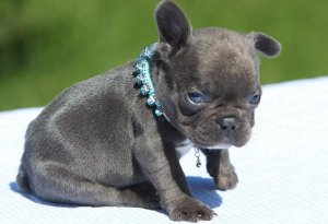 Super Cute French Bulldog Puppies For Sale Denver Co Free