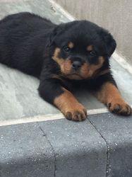 Rottweiler Puppies Avilable At 502 373 0187 Orlando Fl Free