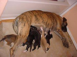 Great Dane Pups Akc Fawn Mantle Black 850 00 Se Arizona Hereford