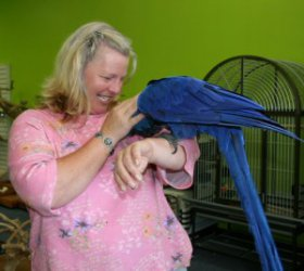 Hand Tamed Hyacinth Macaw Parrot for Adoption - Accomac, VA