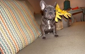 Family Raised Blue French Bulldog Puppies Ready Now Shreveport