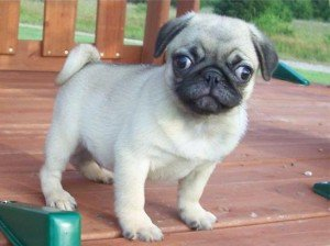 Quality Pug Puppies For Adoption...! - Frankfort, KY