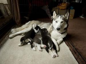 Just 3 Female Siberian Husky Puppies For Sale Alamosa Co Free