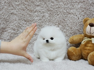 Teacup Pomeranian puppies for Adoption  (434) 288-0486 - Los Angeles