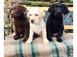 Chocolateyellow Lab Puppies Akctext 385 209 1468 Las Vegas Nv