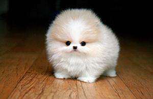 Cute Pomeranian puppy for adoption - Winnemucca, NV - free