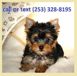 Lovely Yorkie Puppies Available 253 328 8195 Ararat Nc