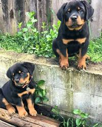 Akc Rottweiler Puppies For Sale Orlando Fl Free Classifieds In Usa