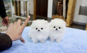 Super Adorable ~ Teacup Pomeranian Puppies For Sale (732) 444-7270