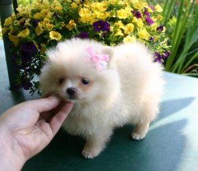 Black Tri Male Is Out Of Kinze Pomeranian Puppies For Sale Dallas