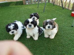 Purebred Shih Tzu Puppies For Sale Boston Ma Free Classifieds
