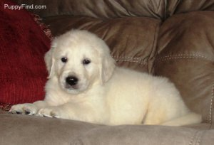 English Golden Retrievers Puppies For Sale Chicopee Ma Free