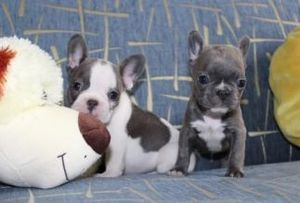 Gifted French bulldog Puppies Available For Sale - Houston