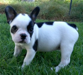 2 french bulldog puppies ready for their new homes