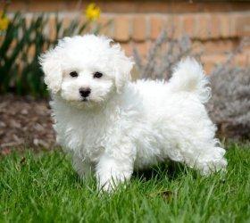 Fluffy White Bichon Frise Puppies - Cedar Bluff, AL - free