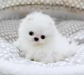 Akc Teacup Pomeranian Puppies Ready For Rehoming 832 937 8464