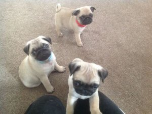 Priceless Fawn Pug Puppies For Adoption - Jacksonville, FL