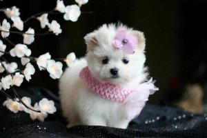 Stunning Teacup Pomeranian Puppies For Sale Plainview Ny Free