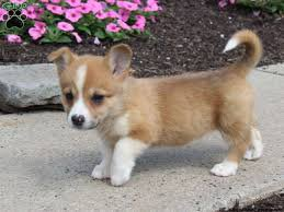 Welsh Corgi Dogs and Puppies for sale - Beverly Hills, CA ...