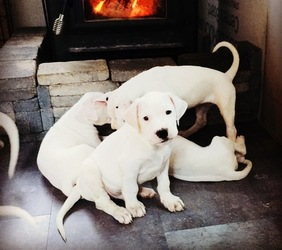 Home Trained Dogo Argentino Puppies - Los Angeles, CA - free