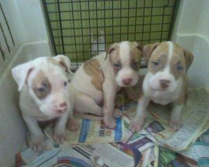 Valentine Red Nose Blue Nose Pitbull Puppies For Sale Dallas Tx