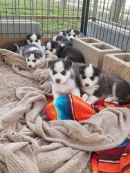 Blue Eyes Siberian Huskies Puppies For Sale Chicago Il Free