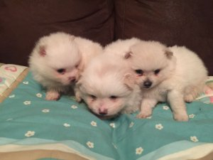 Stunning White Tea Cup Pomeranian Puppies Akc Regd Spring Hill