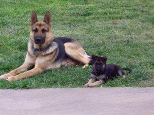 Male Female German Shepherd Puppies For Sale Morgan City La