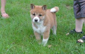 Stunning Shiba Inu Puppies For Sale Nashville Tn Free